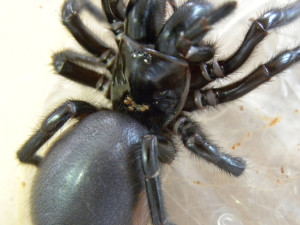 Funnel Web with mites