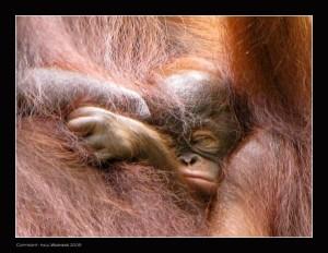 Kuching - Semanggoh Wildlife Centre