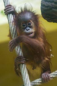 Orangutan boy on the rope